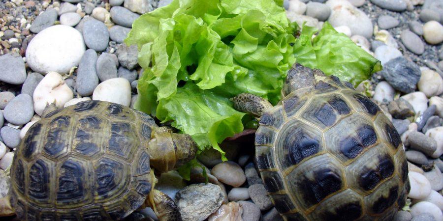 Skötselråd sköldpadda